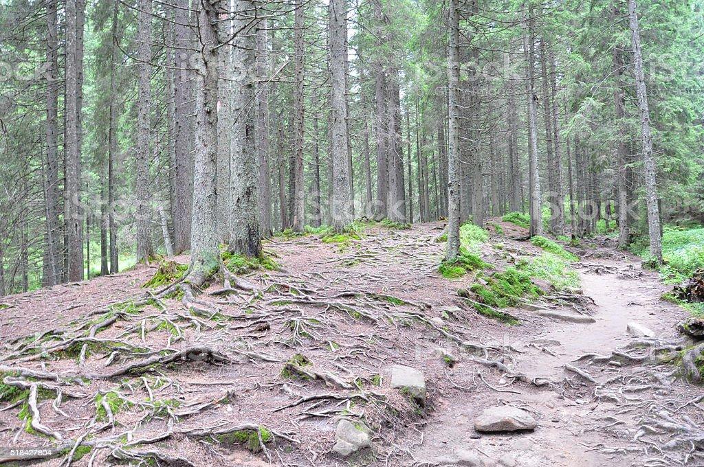 Bosque en las montañas. Gran árbol con raíces. foto de stock libre de derechos