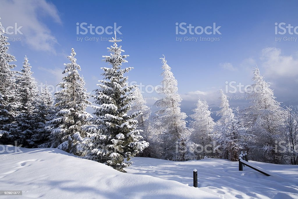 A forest in the winter with its trees covered in snow stock photo
