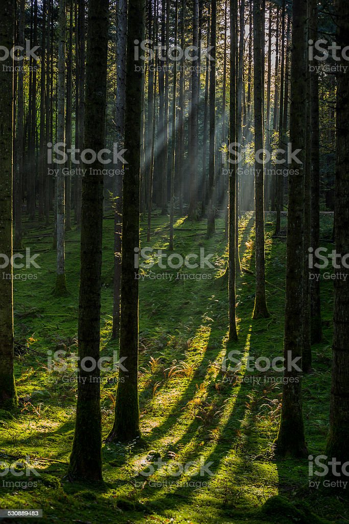 Forest in twilight stock photo