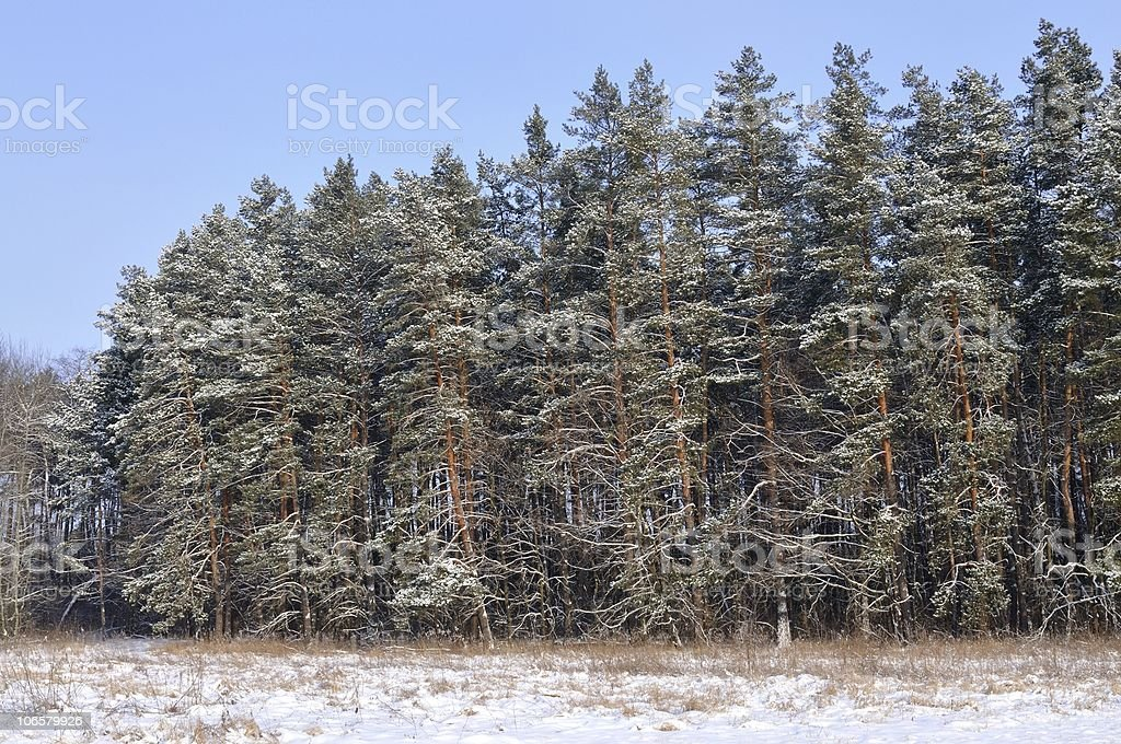 Forest in white royalty-free stock photo