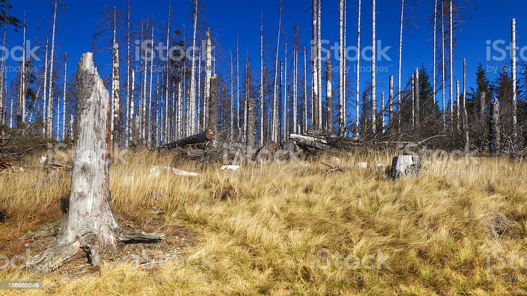 forest killed by bark beetle royalty-free stock photo