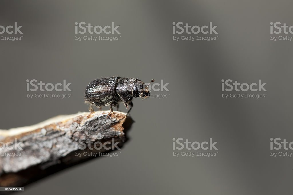 Forest Killer, Mountain pine beetle, Colorado stock photo