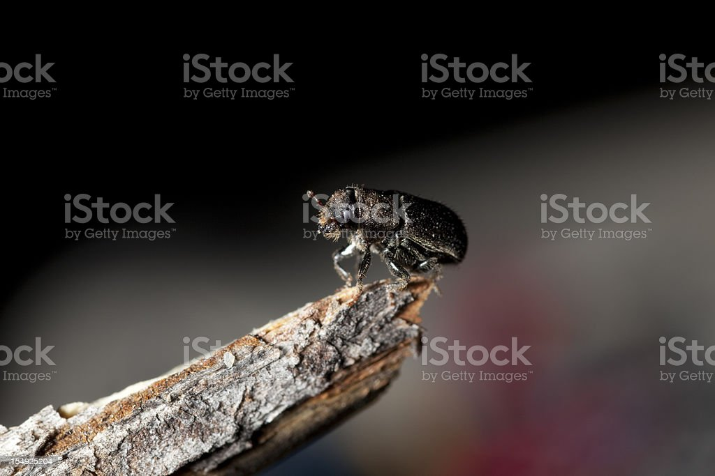 Forest Killer, Mountain pine beetle in Colorado Rockies stock photo