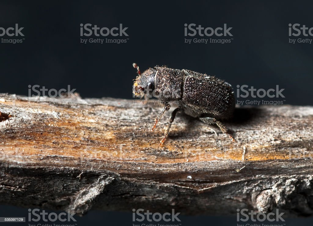 Forest killing mountain pine beetle Rocky Mountain NP Colorado stock photo