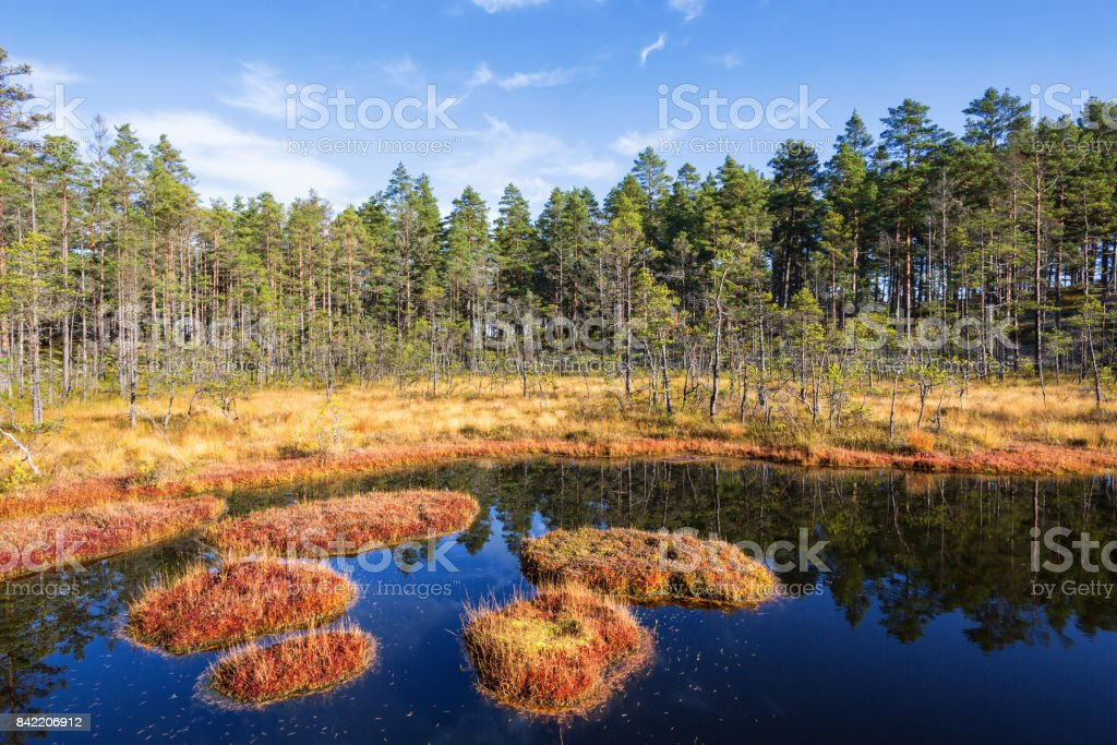 Forest lake at the bog in the forest stock photo