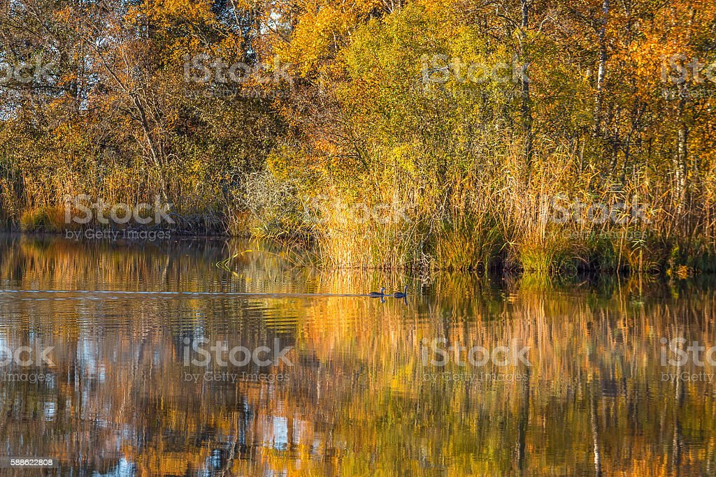 Forest lake with autumn colors and swimming crested grebes stock photo