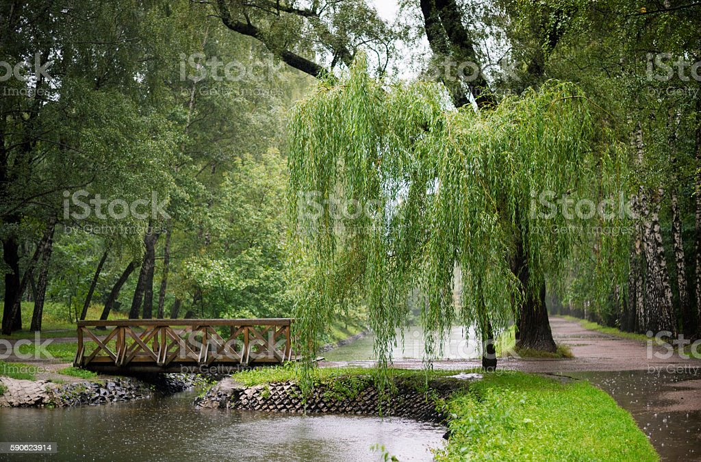Forest landscape with a willow in the rain stock photo