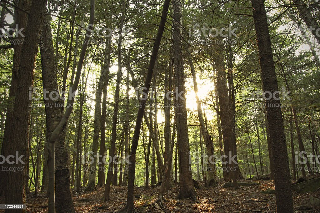 Forest light royalty-free stock photo
