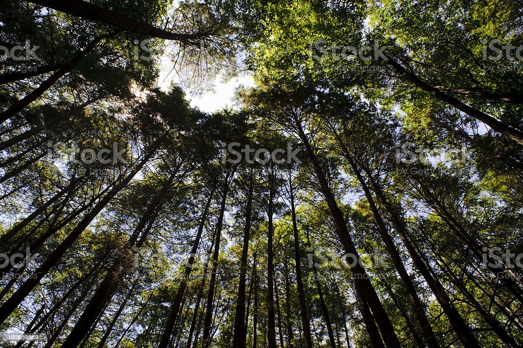 Forest, looking up stock photo