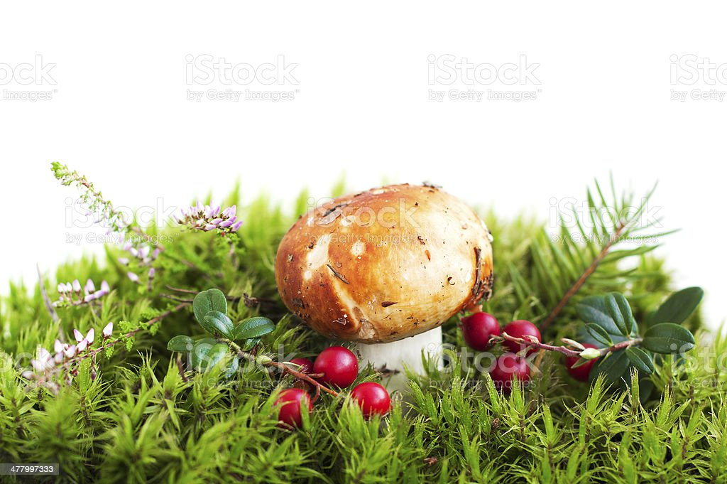 Forest mushroom in moss royalty-free stock photo