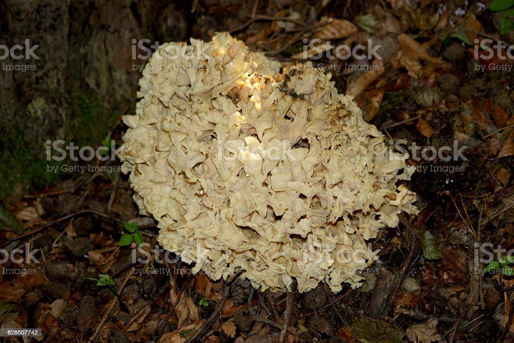 Forest mushroom - maitake - Grifola frondosa stock photo