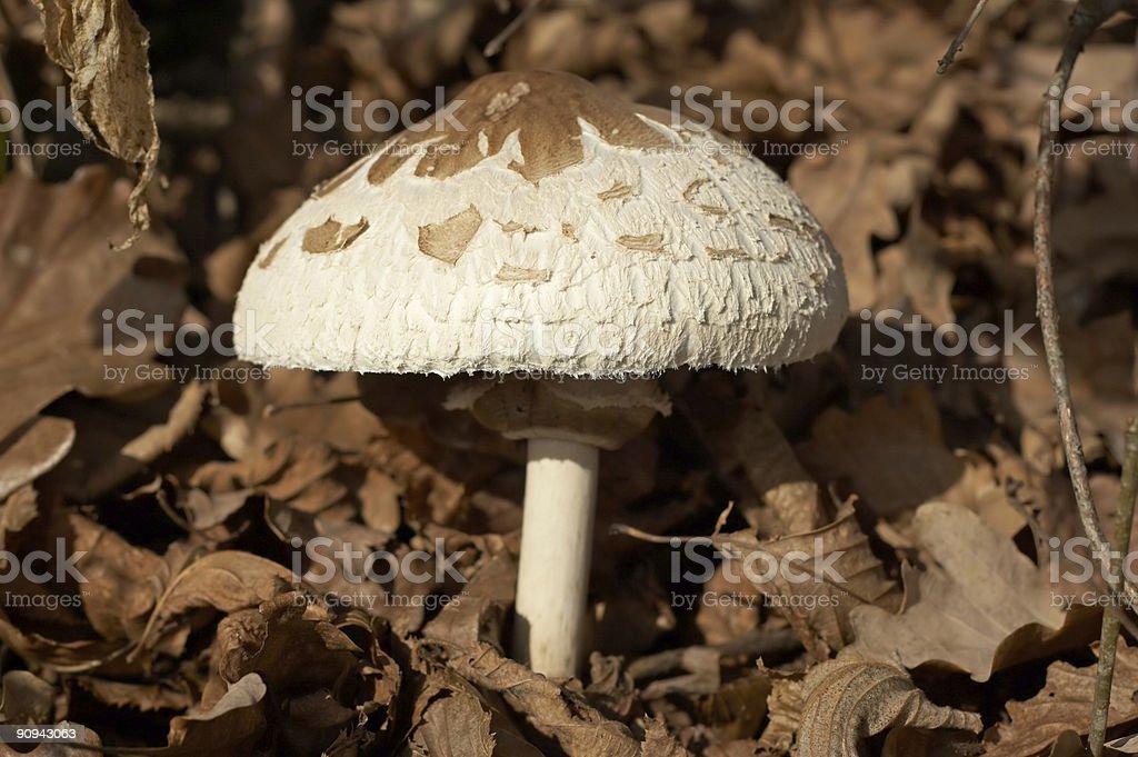 Forest mushroom royalty-free stock photo