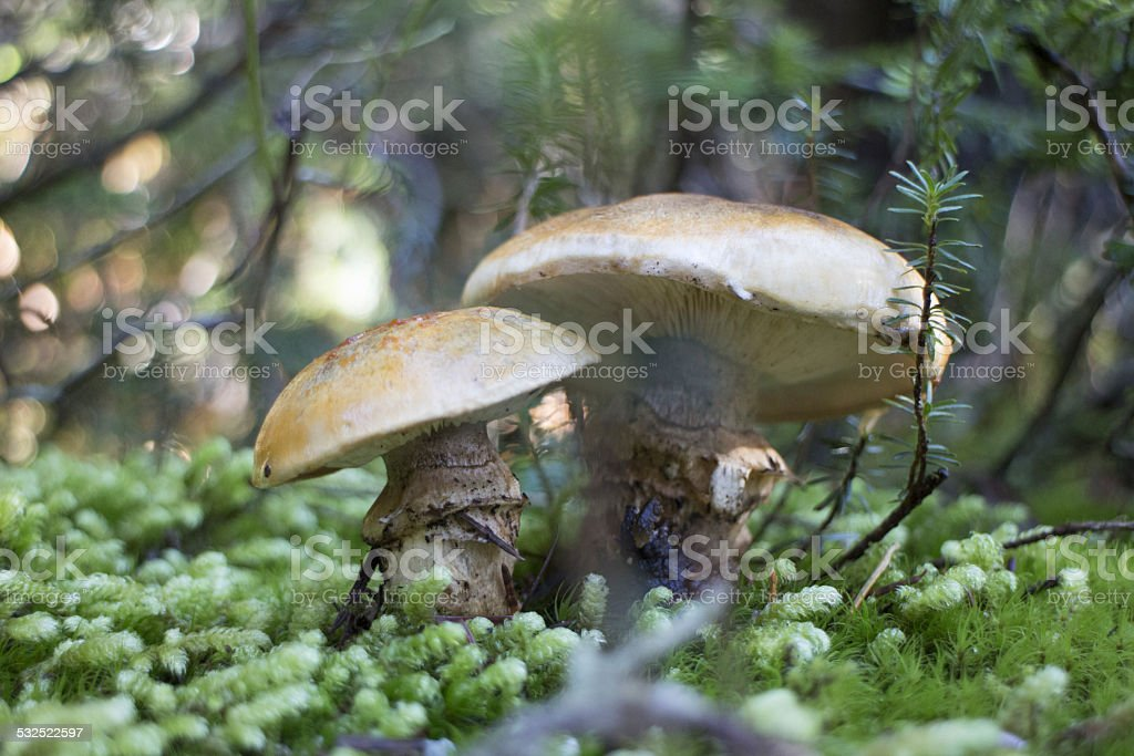Forest Mushrooms Close-up stock photo