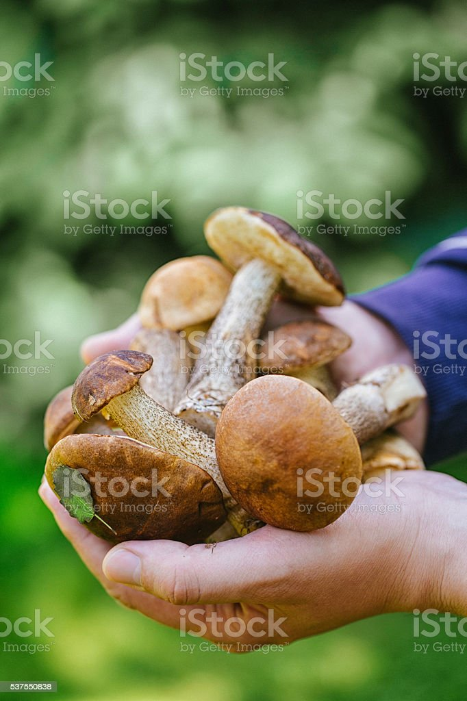 Forest mushrooms in male hands stock photo