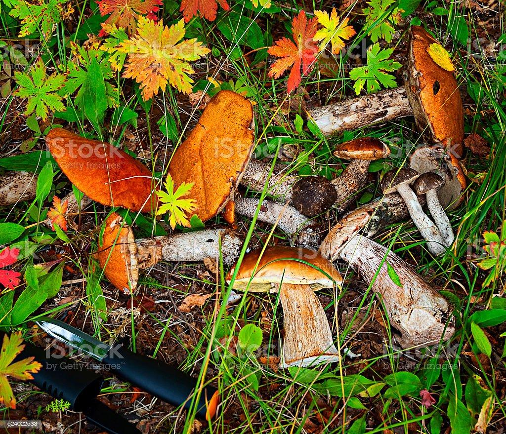 Champignons forestiers dans l'herbe photo libre de droits