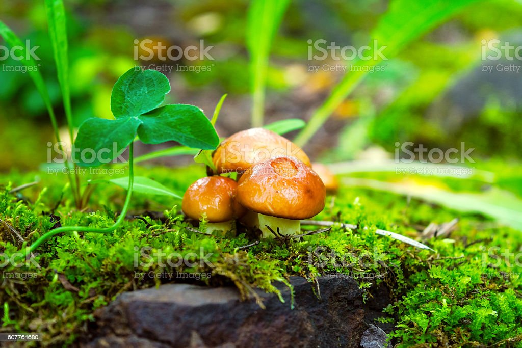 Forest mushrooms in the green grass stock photo