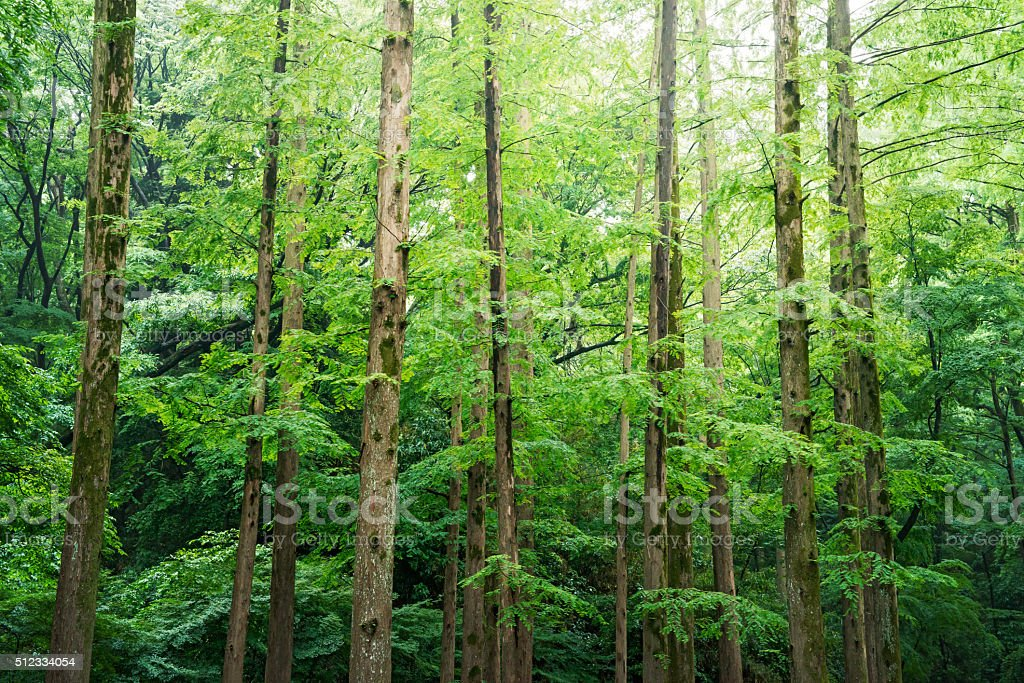 Forest of a metasequoia stock photo