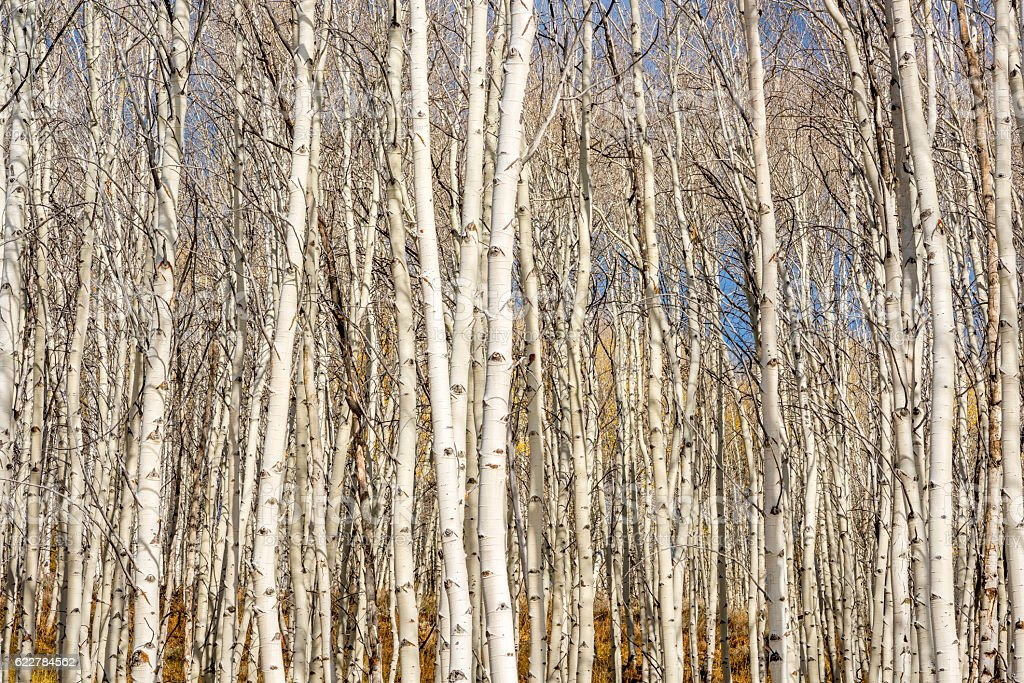 Forest of Aswpn trees in fall stock photo