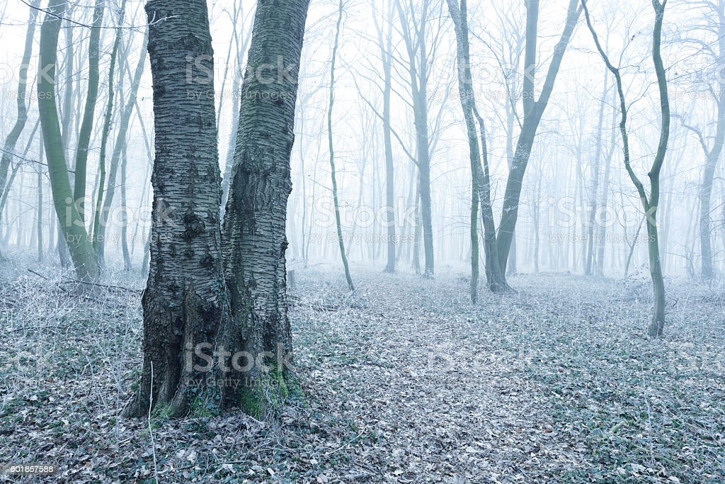 Forest of Bare Trees in Fog on Frosty Winter Morning stock photo