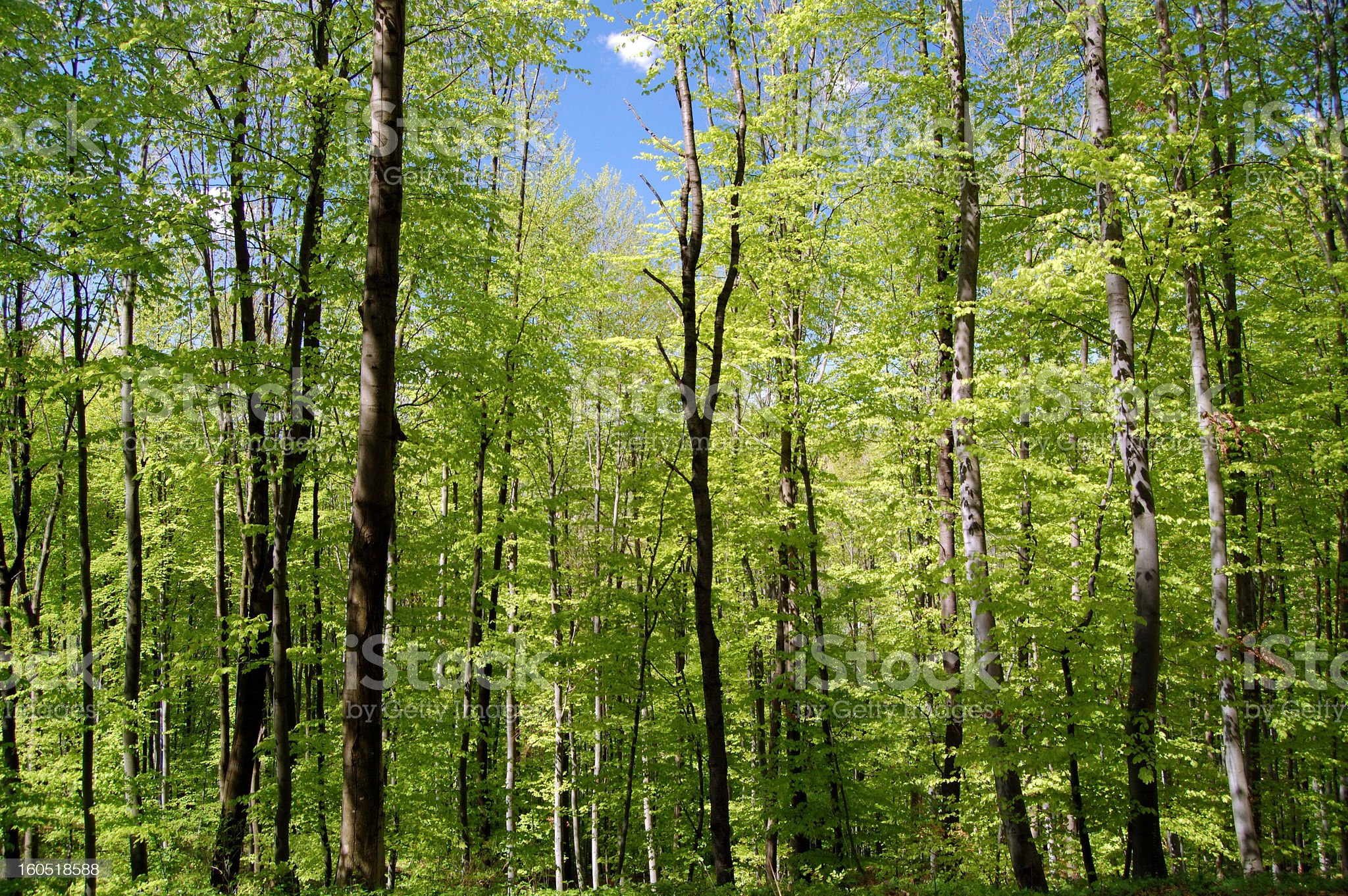 forest of birch trees royalty-free stock photo