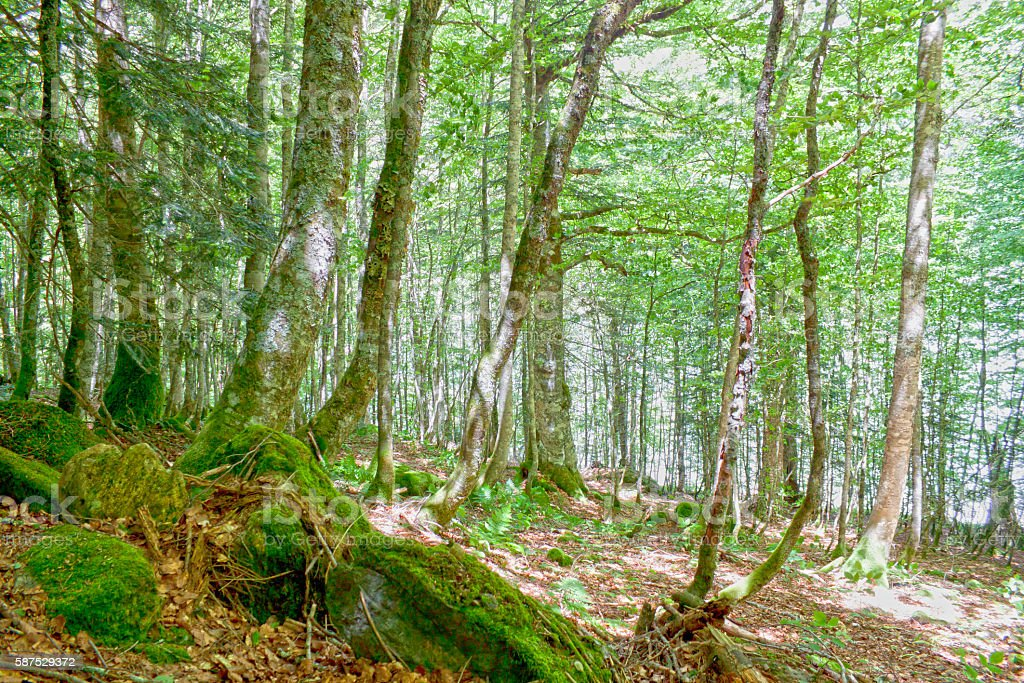 forest of black poplars with stones with moss stock photo