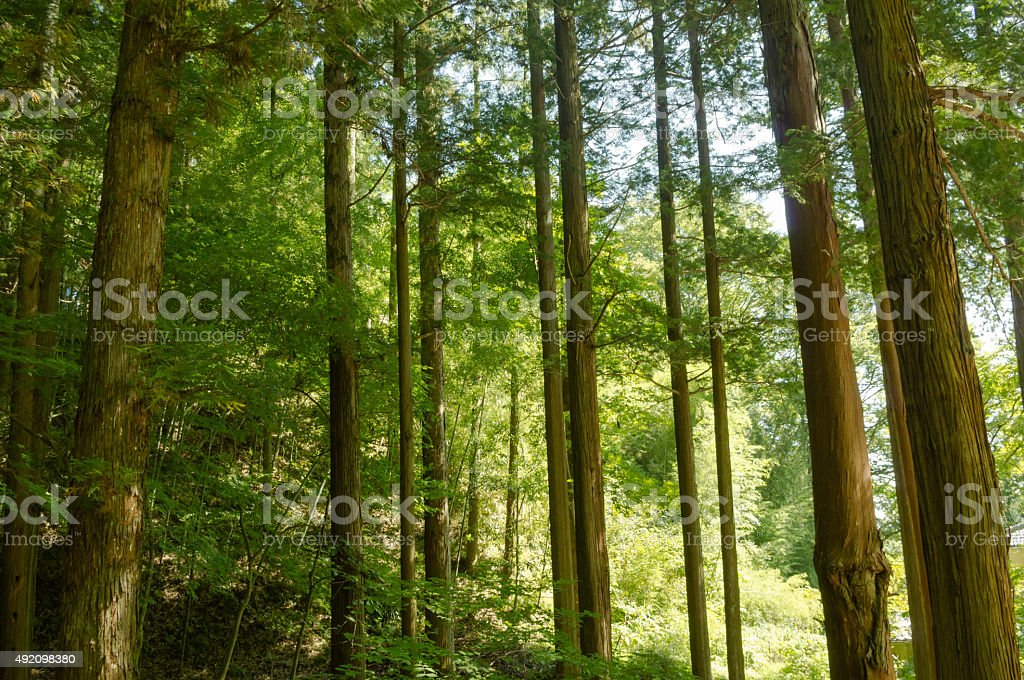 Forest of cedar trees in Japan stock photo