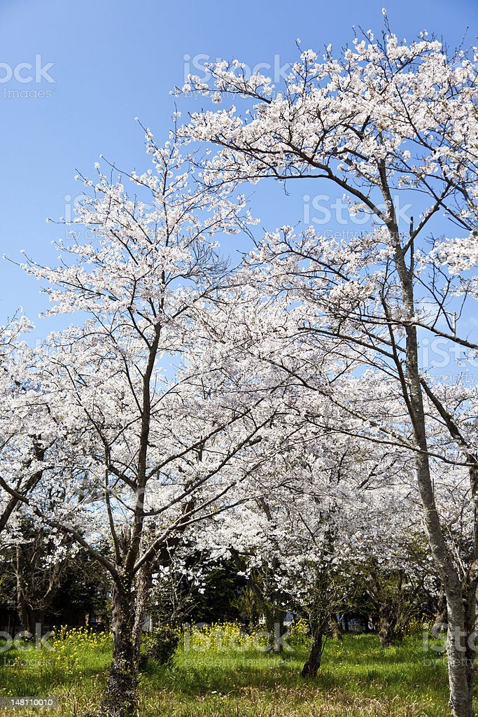 Forest of cherry blossoms royalty-free stock photo