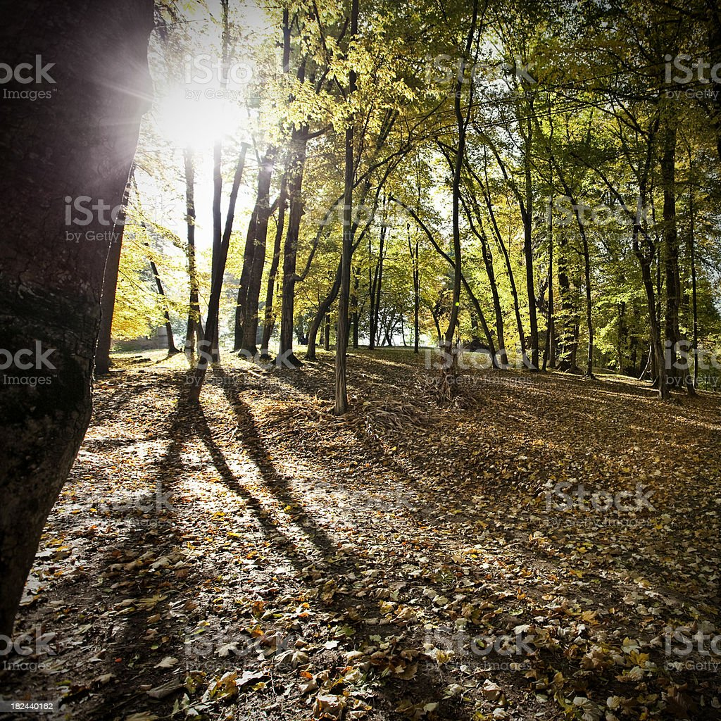 Forest of deciduous trees in fall royalty-free stock photo