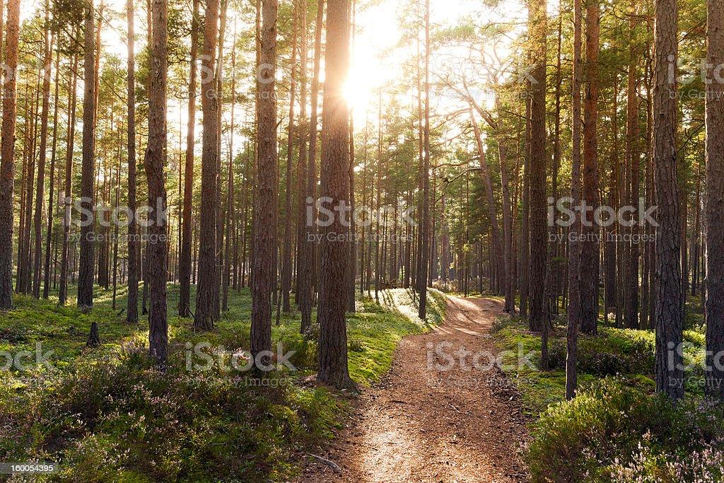 Forest of Gotska sandon stock photo