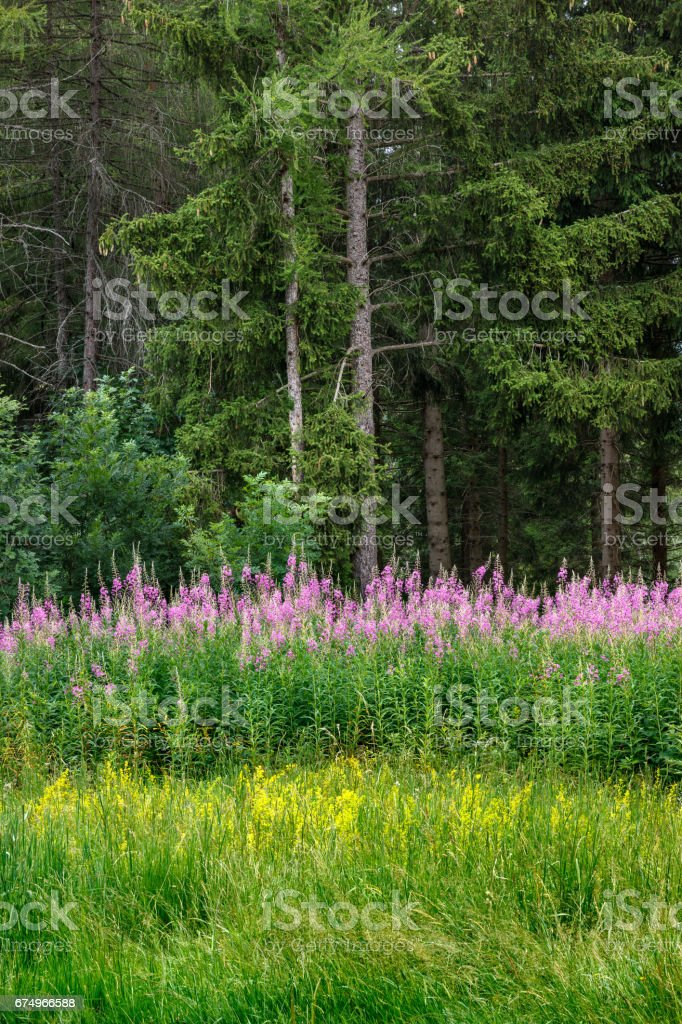 Forest of larch and spruce trees with rosebay willowherb. Bayard Plateau, Champsaur, Alps, France stock photo