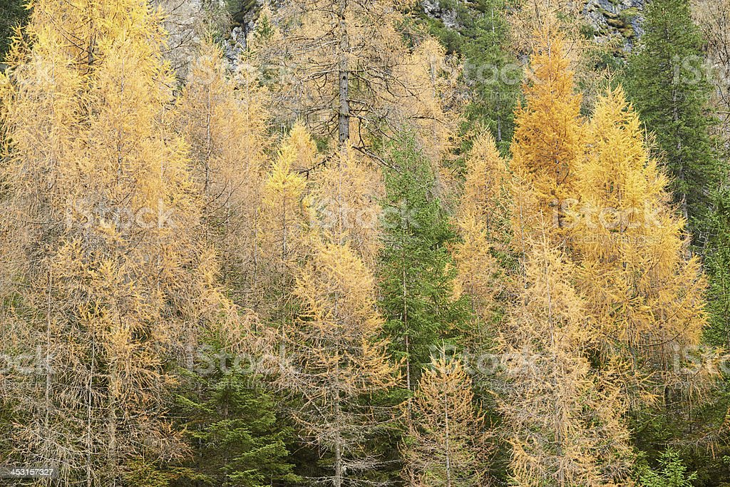 Forest of Larches and Spruces stock photo