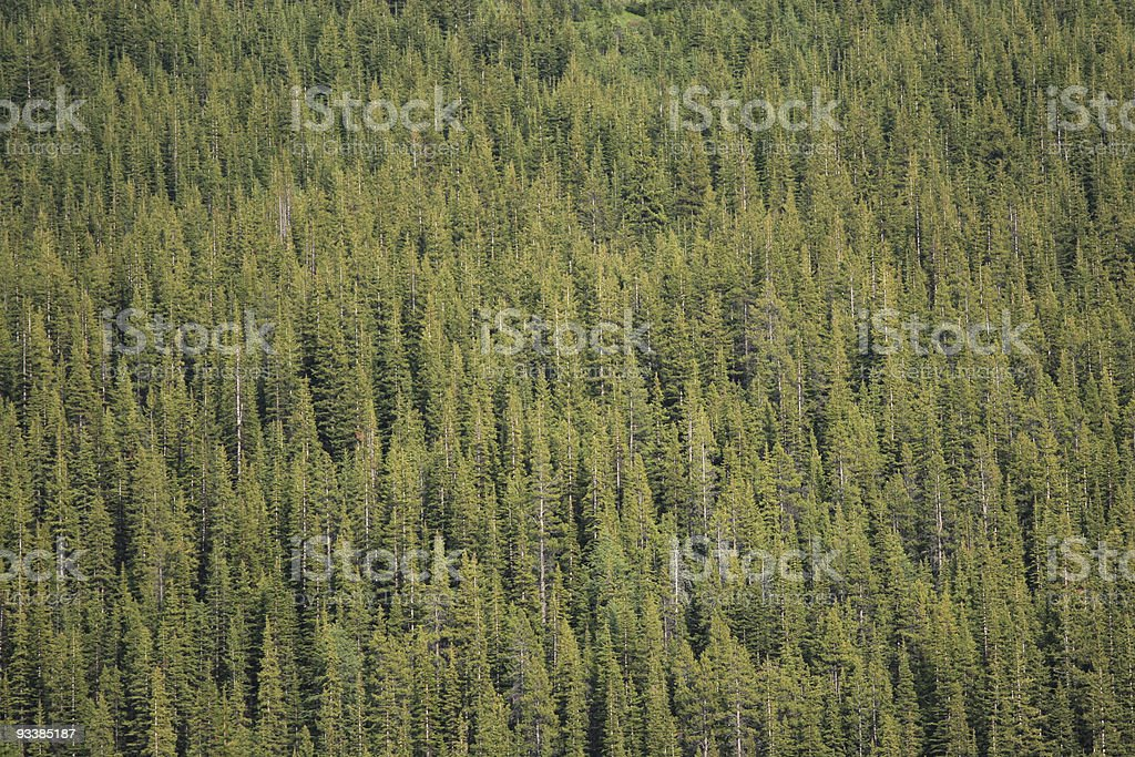Forest of Lodgepole Pines stock photo