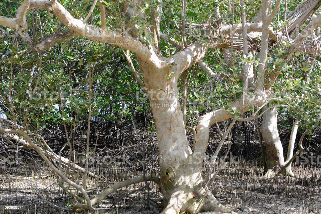 Forest of Mangrove tree grow on white sand beach stock photo
