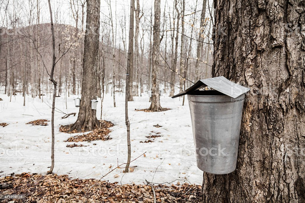 Forest of Maple Sap buckets on trees stock photo