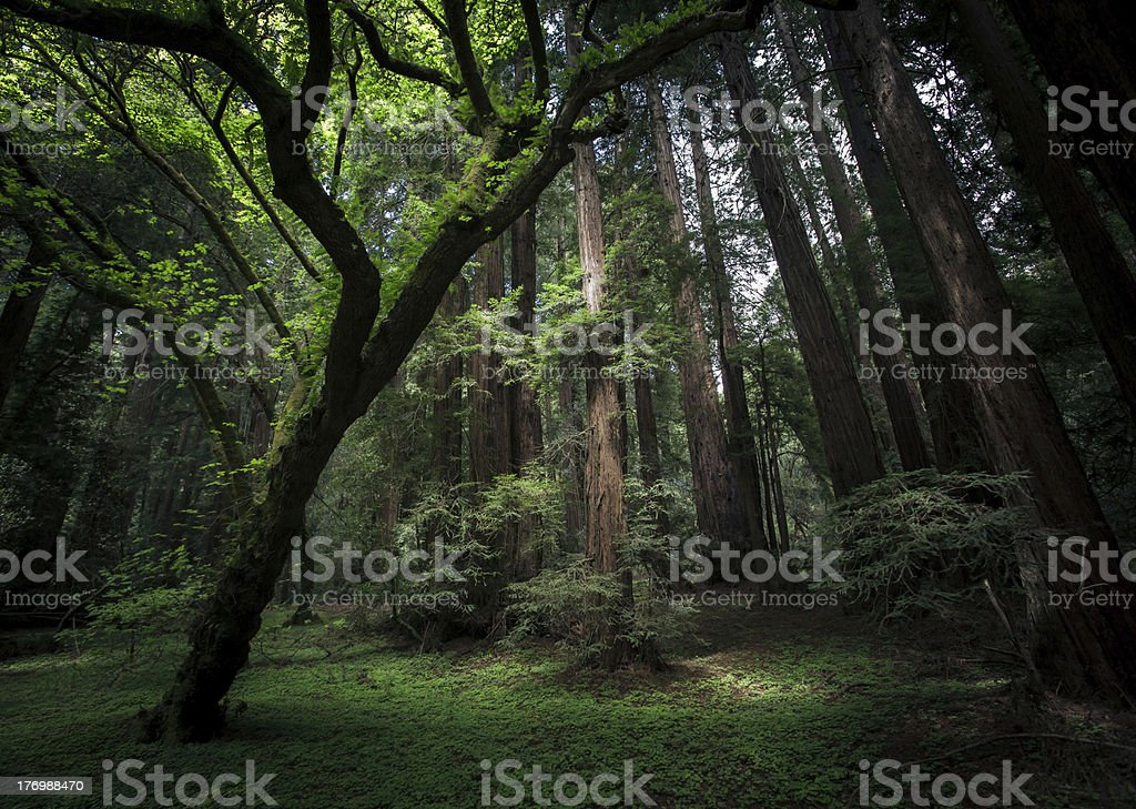 Forest of Muir woods stock photo