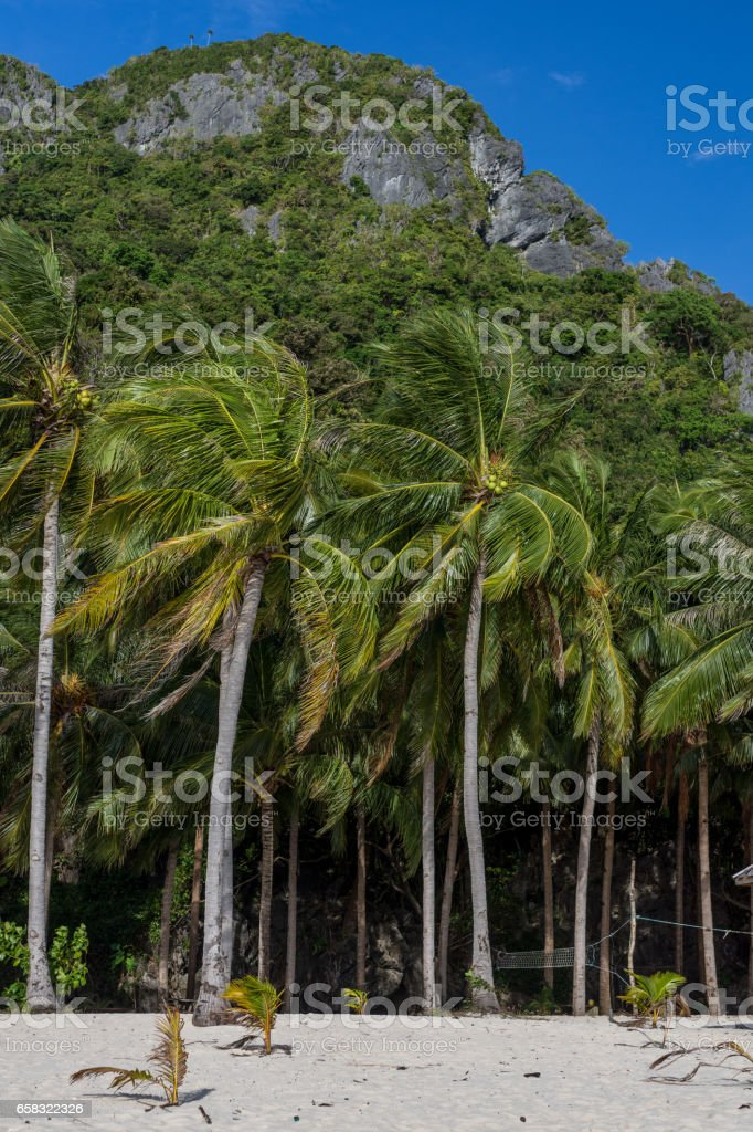 Forest of palm trees on white sand beach stock photo