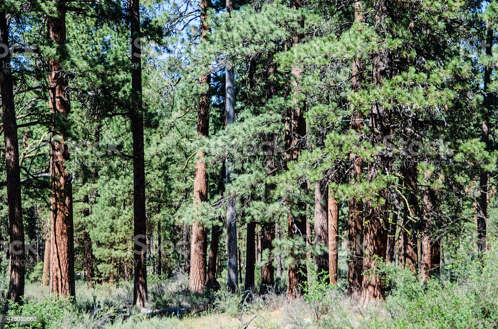 Forest of Ponderosa Pine Trees stock photo