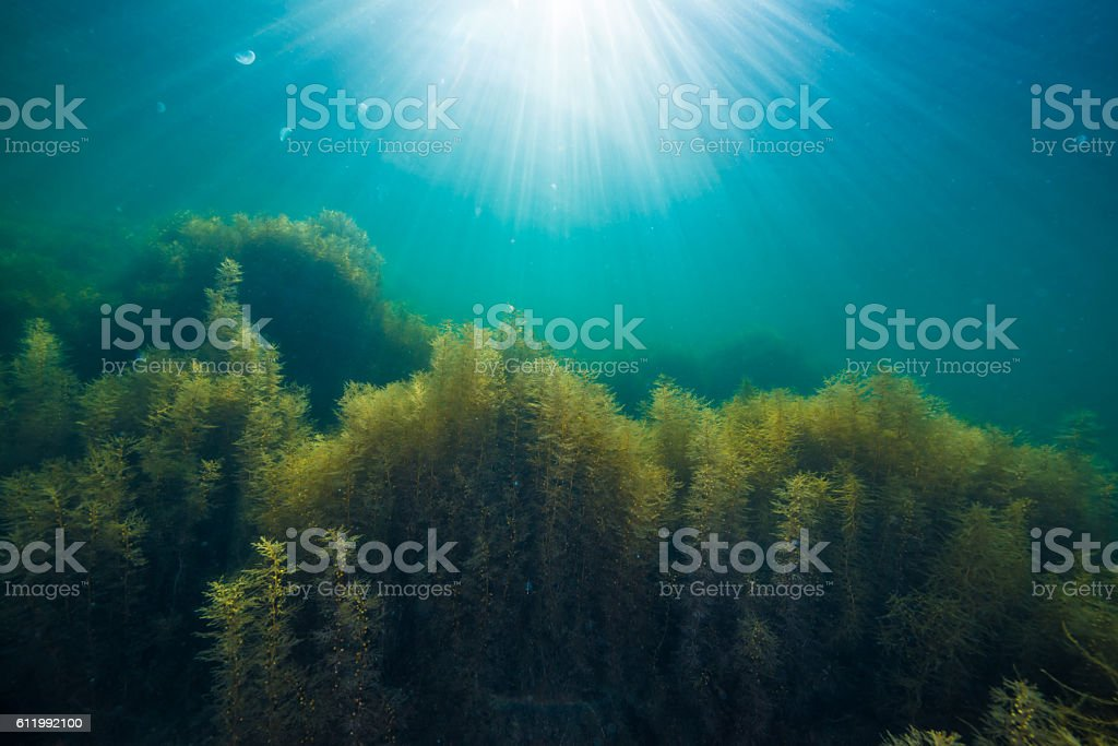 Forest of seaweed stock photo