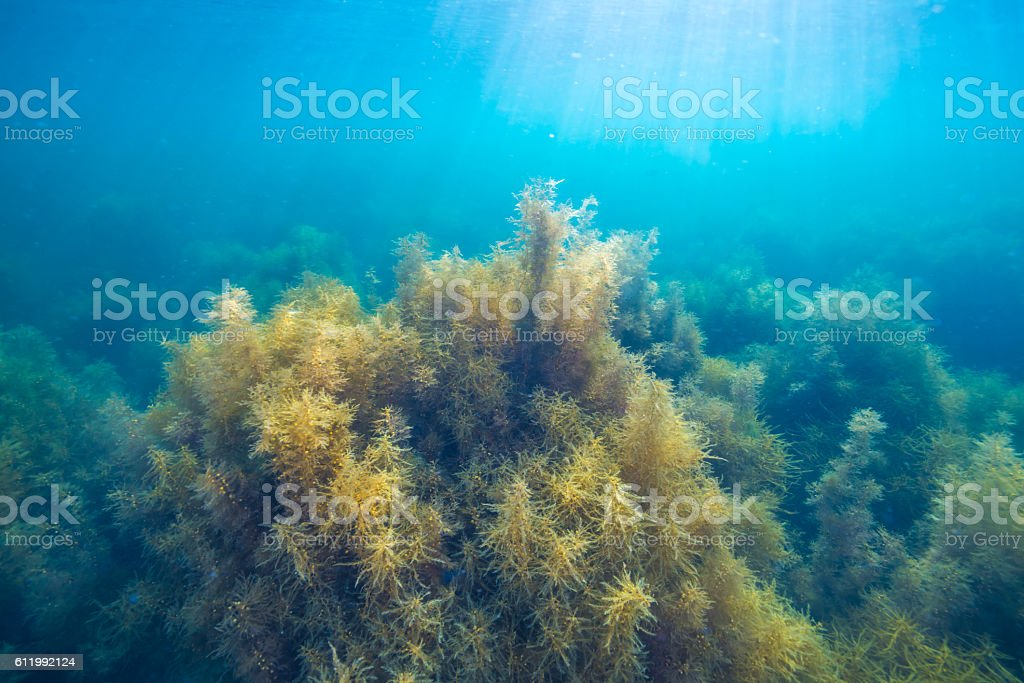 Forest of seaweed foto de stock royalty-free