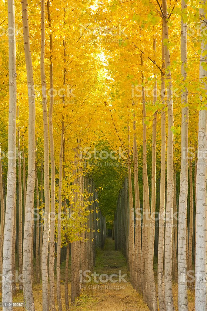 Forest of Trees in Autumn Saturated with Yellow Fall Color royalty-free stock photo