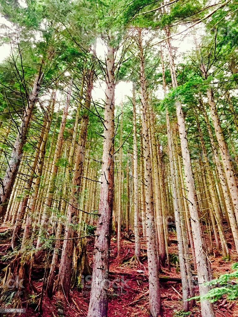 Forest of trees royalty-free stock photo