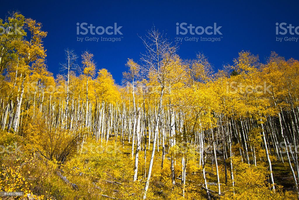 Forest of Yellow Aspen Trees in Autumn, Vibrant Blue Sky stock photo
