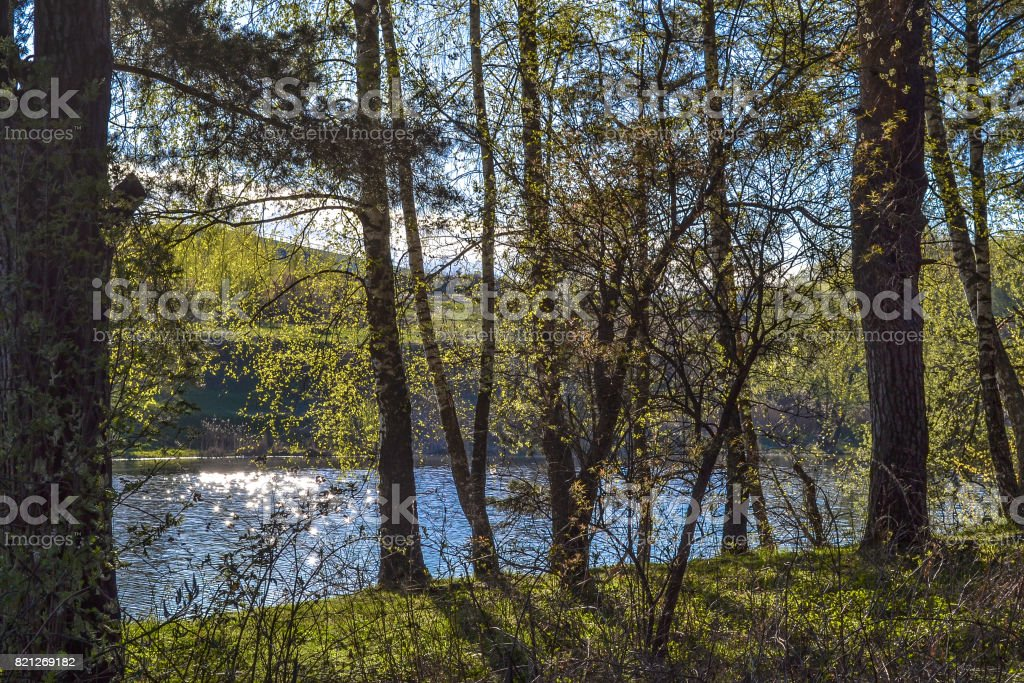 Forest on a sunny day. Pines on the river bank. Russia stock photo