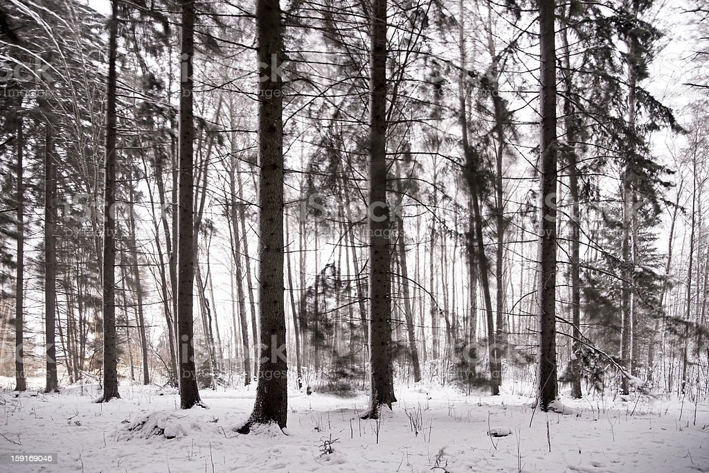 Forest on windy winter day royalty-free stock photo