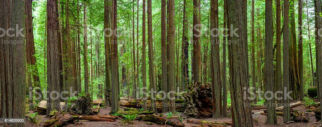 Forest Panorama stock photo