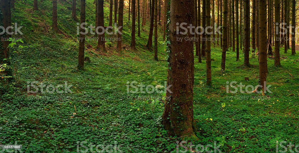 Forest Panorama royalty-free stock photo