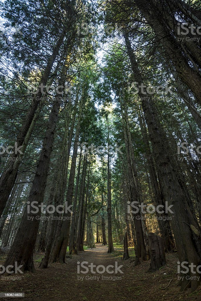 Forest path, enormous and high conifers, trees in woods (XXXLarge) royalty-free stock photo