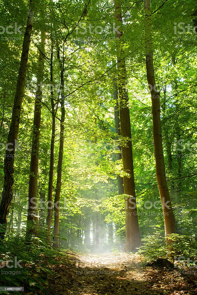 Forest path in mist royalty-free stock photo