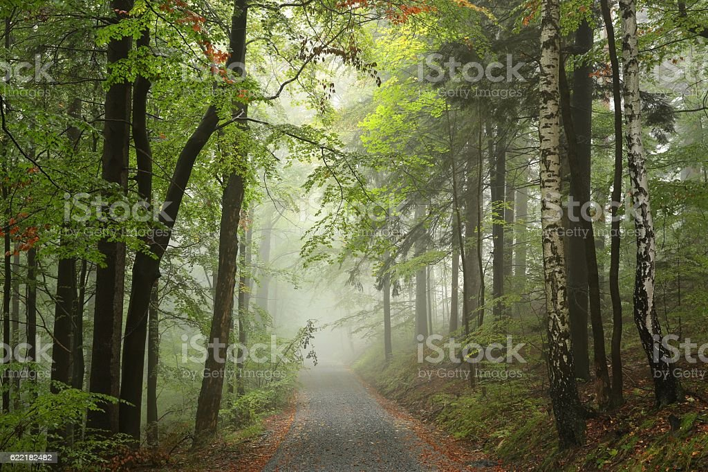 Forest path in misty weather stock photo