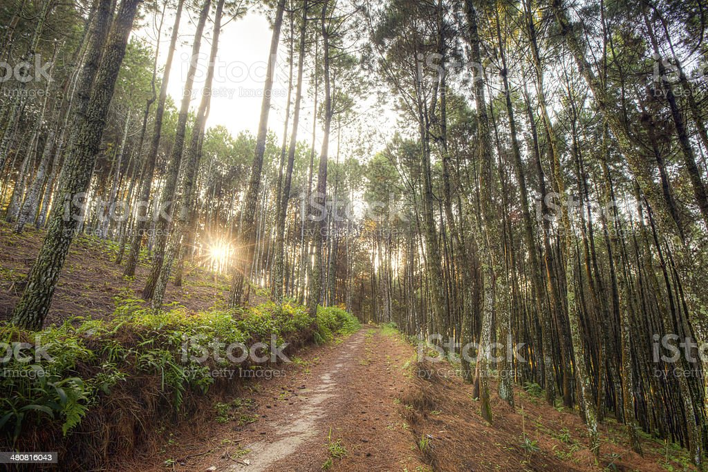 Forest path with sun flare in the morning stock photo